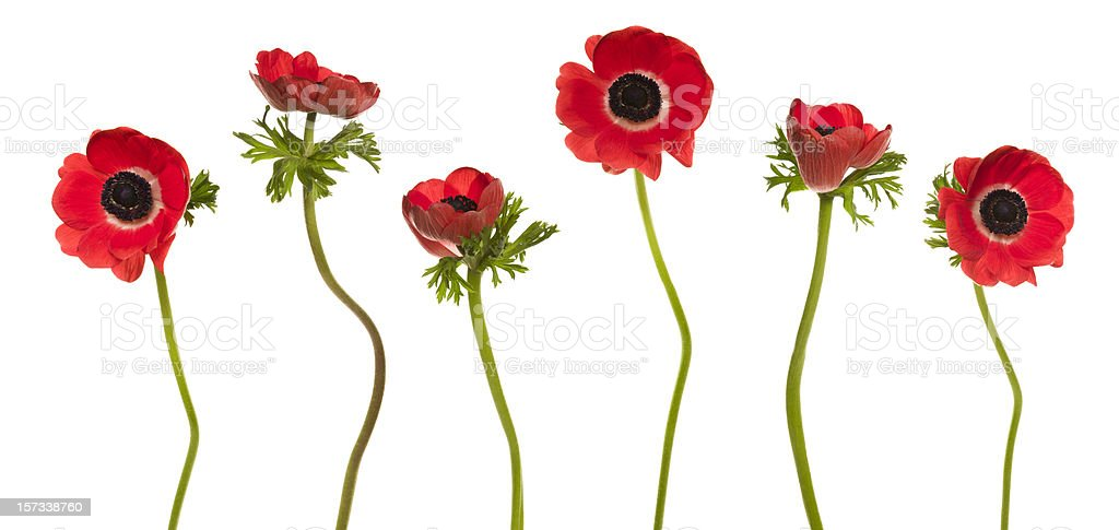 Red Poppies (XXL+) royalty-free stock photo