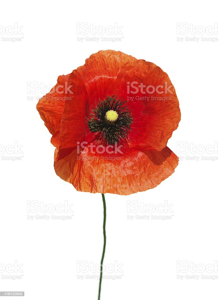 red poppies royalty-free stock photo