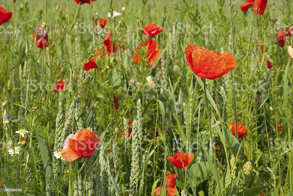 poppies rojo foto de stock libre de derechos