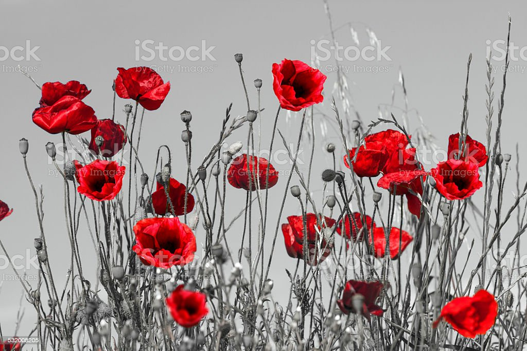 Red poppies stock photo