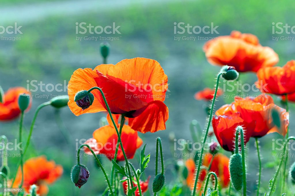 red poppies. summer stock photo