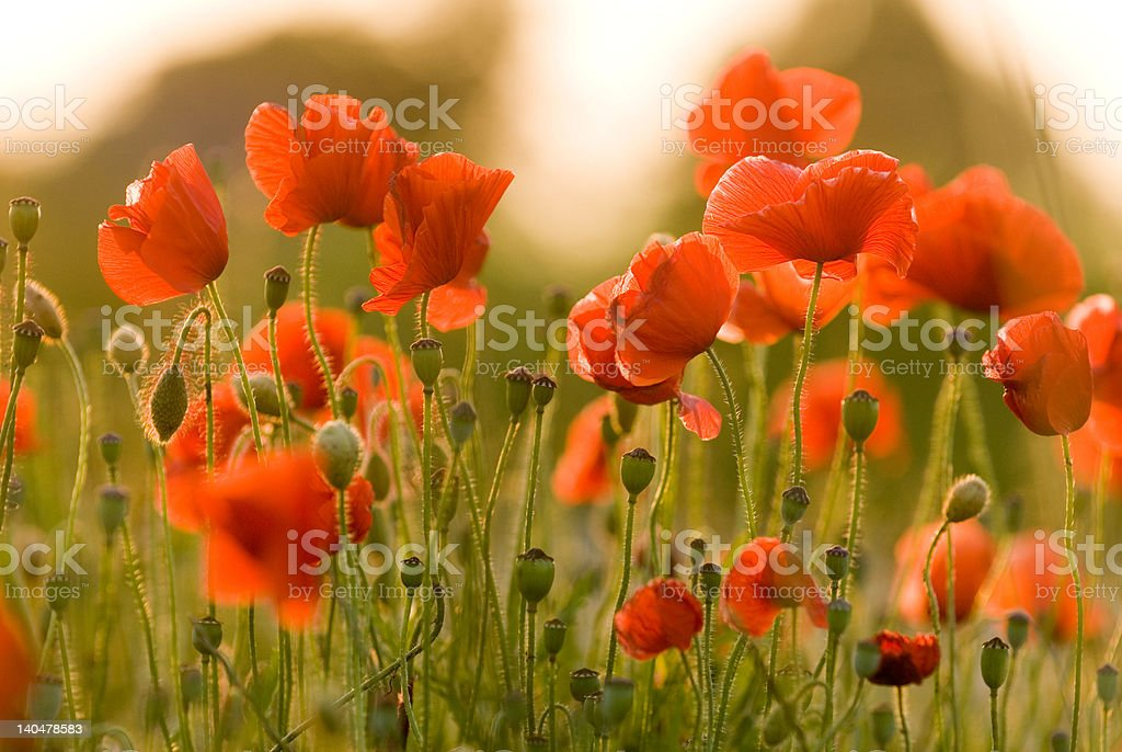 Red poppies-2 royalty-free stock photo