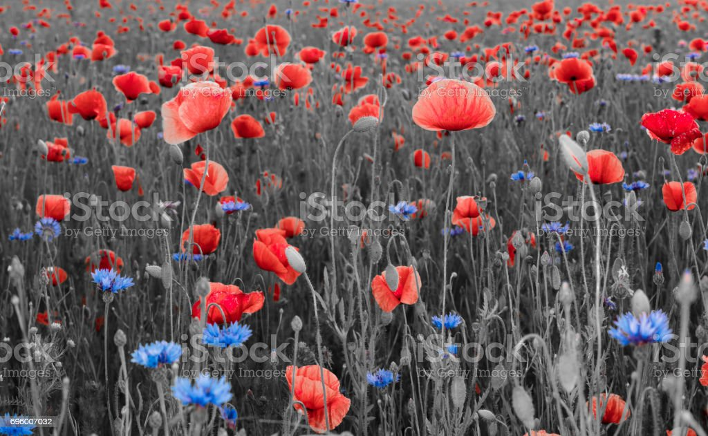 Red poppies,panorama stock photo