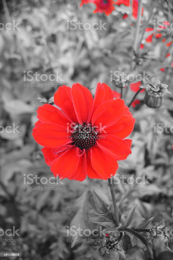 Red Poppy contra un fondo blanco y negro foto de stock libre de derechos