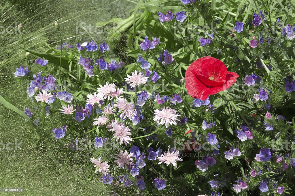 Red poppy among blue flowers royalty-free stock photo