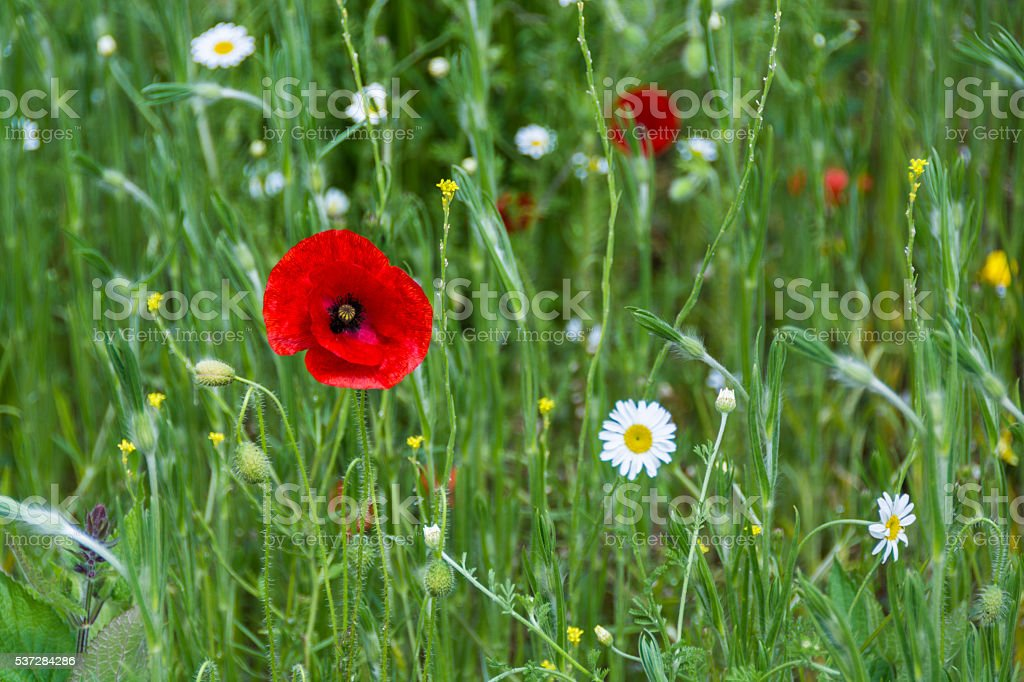 Red poppy and daisies - summer field stock photo