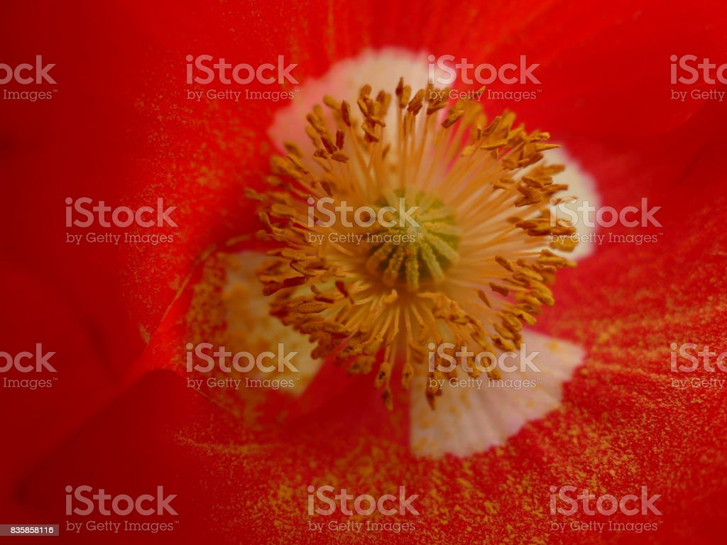 Red poppy and pollen stock photo