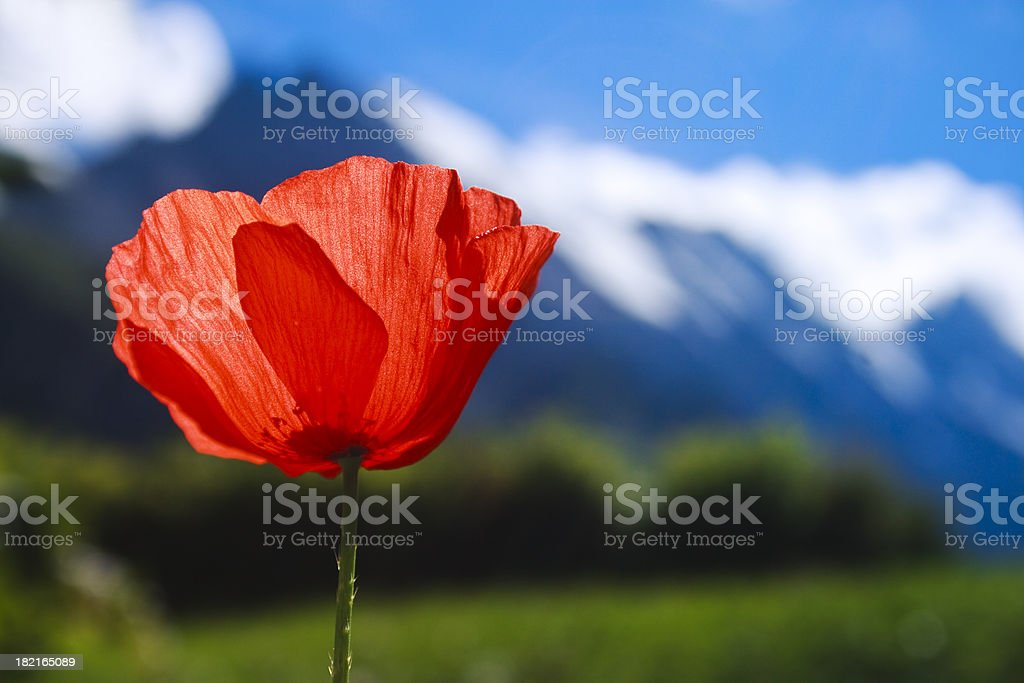 Red Poppy and view of Swiss Alps, Gimmelwald stock photo