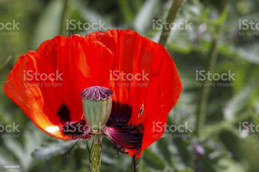 Red poppy bud royalty-free stock photo