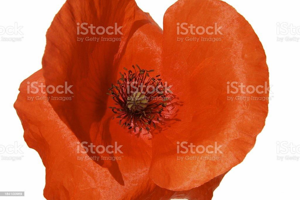 Red Poppy Close-up stock photo