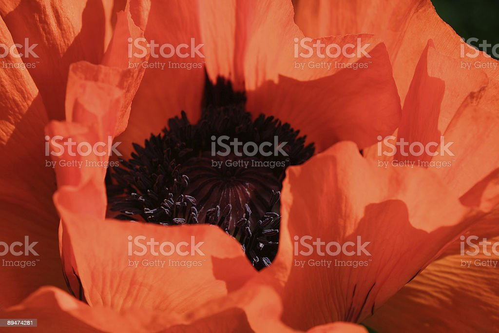 Red Poppy Close-Up royalty-free stock photo