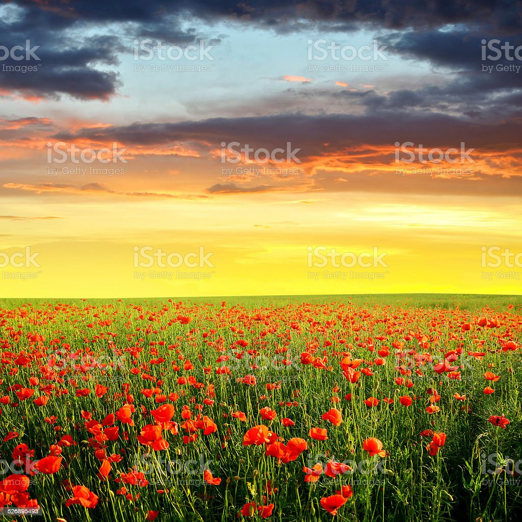 Red poppy field at sunset stock photo