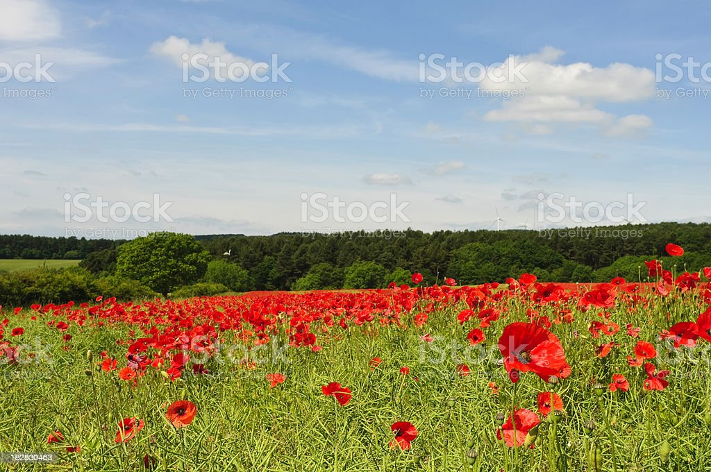 Red poppy field, blue sky and fluffy clouds royalty-free stock photo