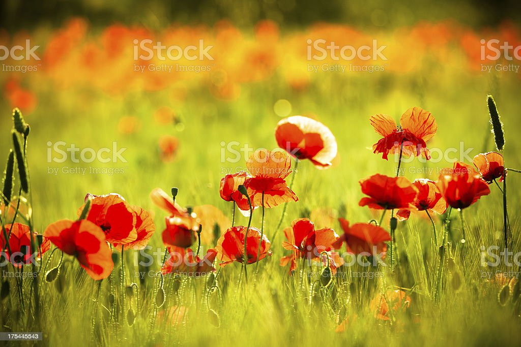 Red Poppy Field in Spring royalty-free stock photo