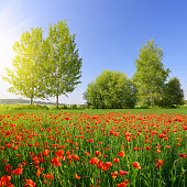 Red poppy field in sunny day.