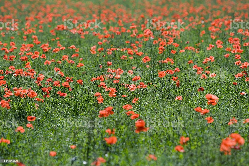 red poppy field royalty-free stock photo