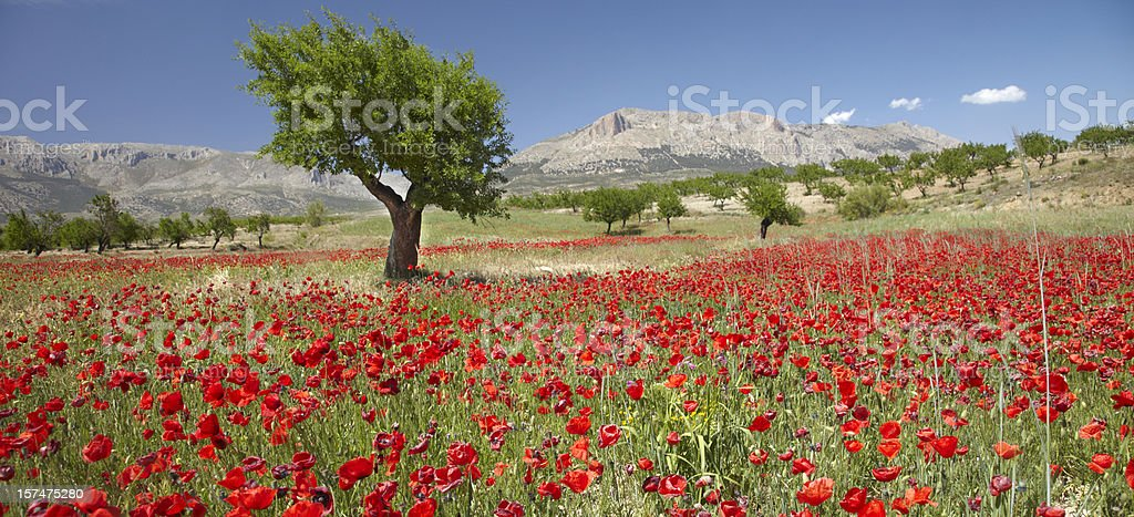 Red poppy field with an almond tree behind stock photo