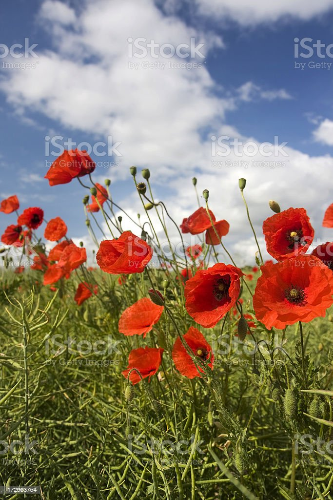Red poppy field with polarized blue sky royalty-free stock photo