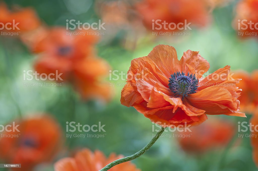 Red poppy flower field - VIII royalty-free stock photo
