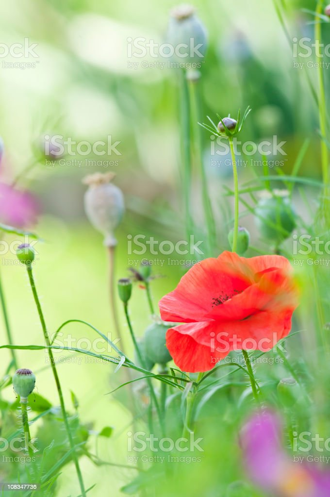 Red poppy (Papaver) flower - I royalty-free stock photo