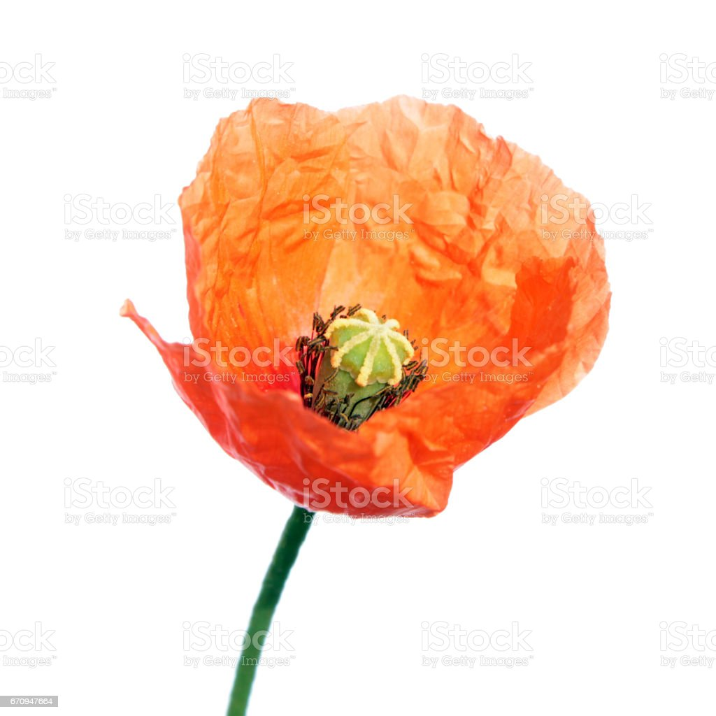 Red poppy flower (Papaver rhoeas) isolated on white background stock photo