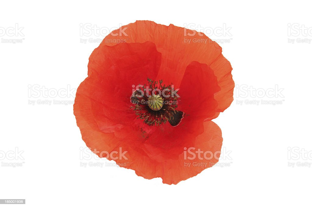 Red poppy flower on white stock photo