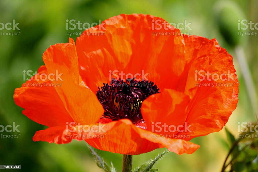Red poppy flower (Brilliant Red Oriental Poppy / Papaver Orientale Brilliant) stock photo