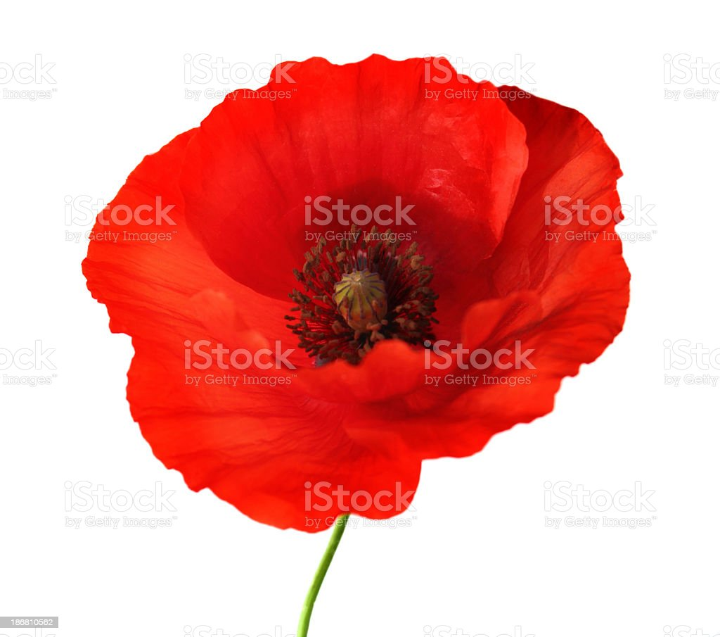 Red poppy flower with green stem and white background stock photo