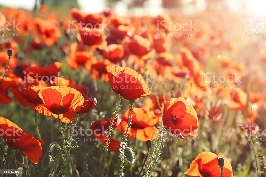 Red poppy flowers field, close up stock photo