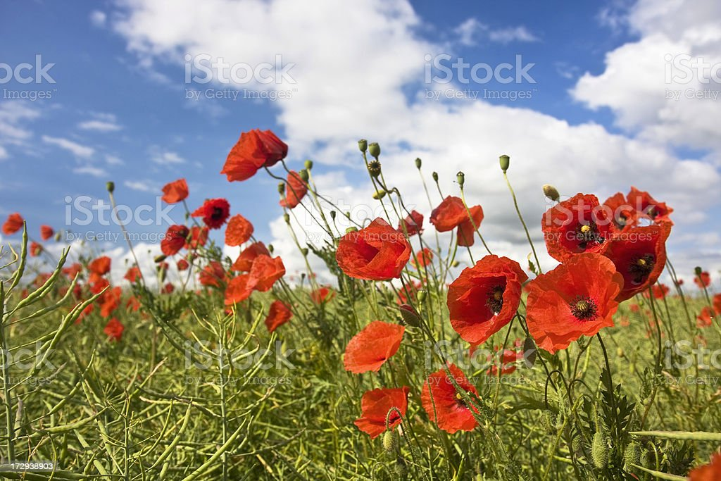 Red poppy flowers on blue sky with white clouds. royalty-free stock photo