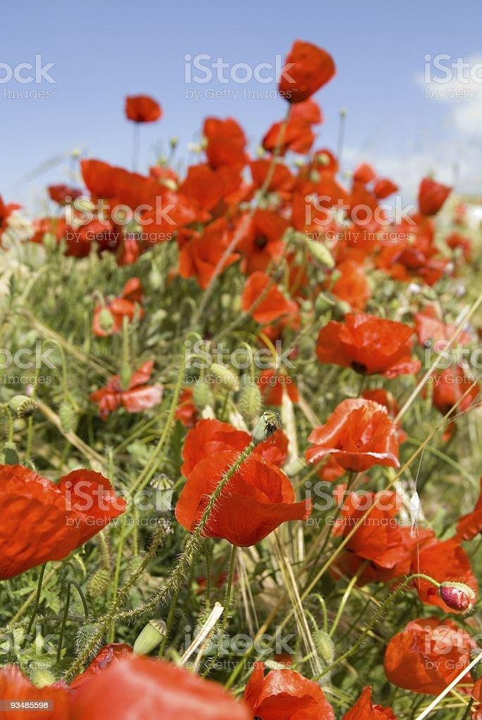 red poppy flowers ( papaver rhoeas ) stock photo