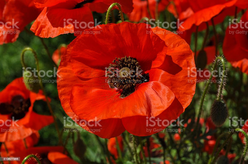 red poppy in a field stock photo