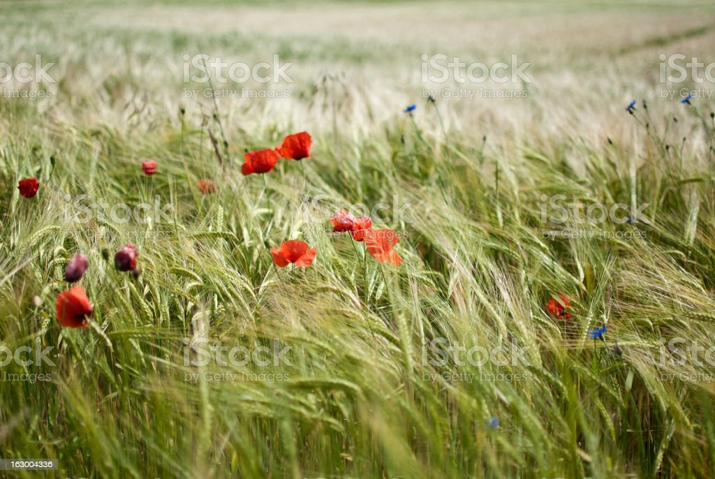 Red poppy in a summer meadow royalty-free stock photo