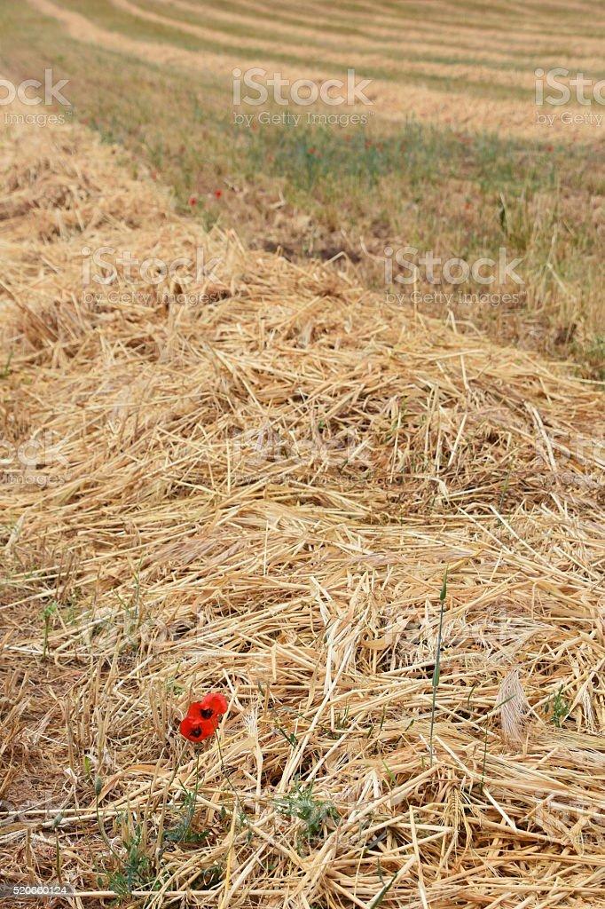 Red Poppy in a wheat field stock photo