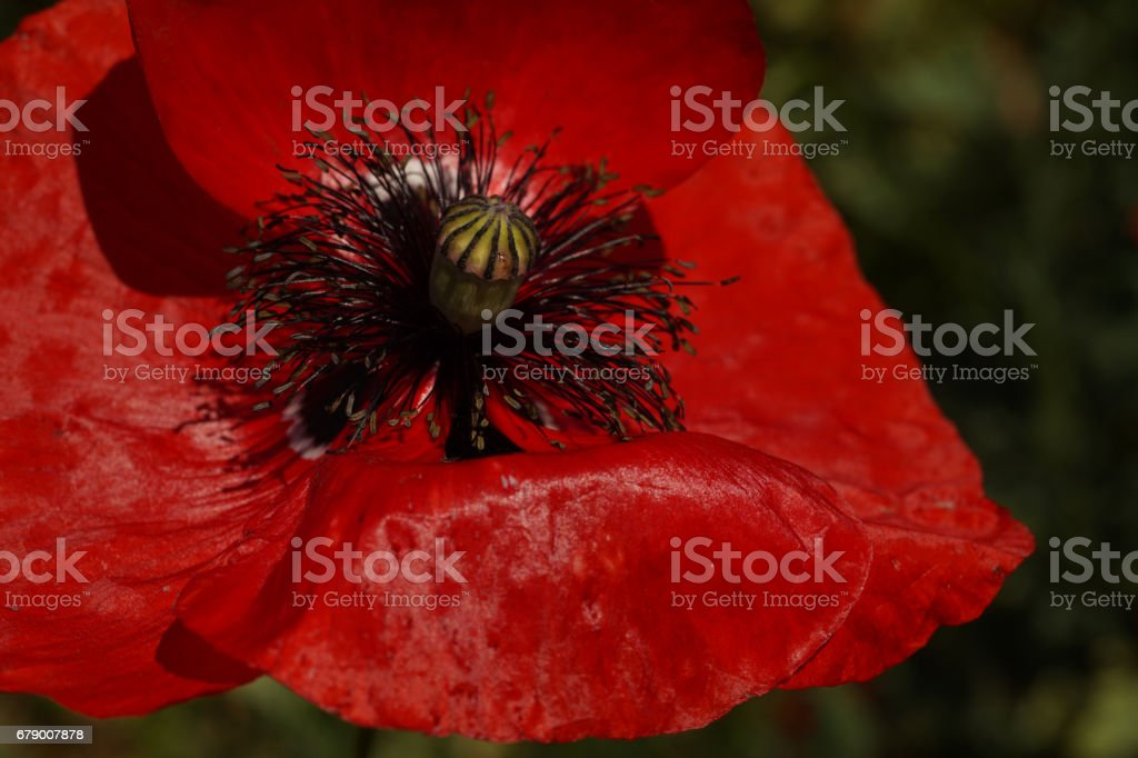 Red Poppy  in the meadow. Papaver rhoeas Close Up stock photo