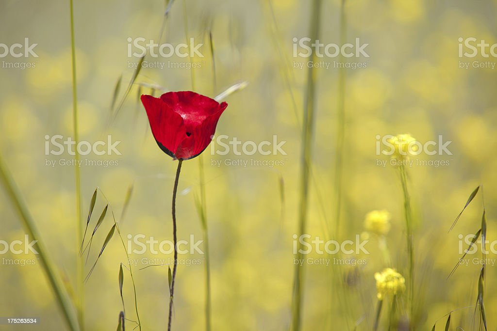 Red poppy in yellow daisy field royalty-free stock photo