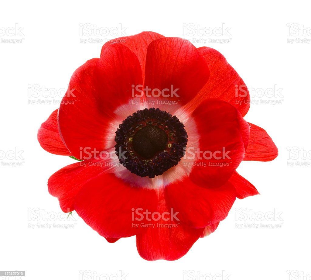 Red poppy isolated on a white background stock photo