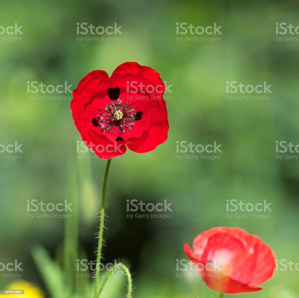 Red Poppy Isolated on Green Background stock photo