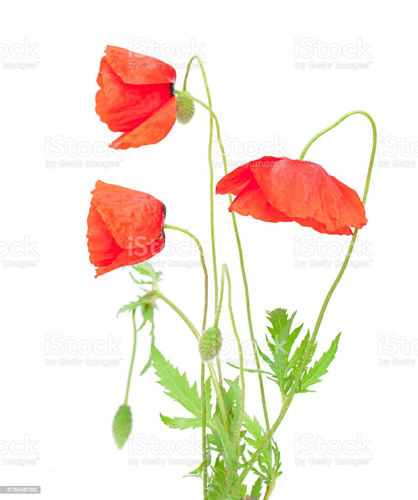 red  poppy isolated on white stock photo