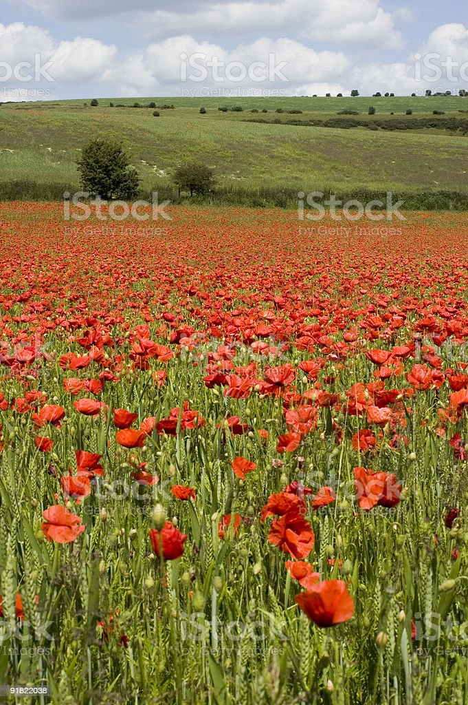 Red Poppy Landscape royalty-free stock photo