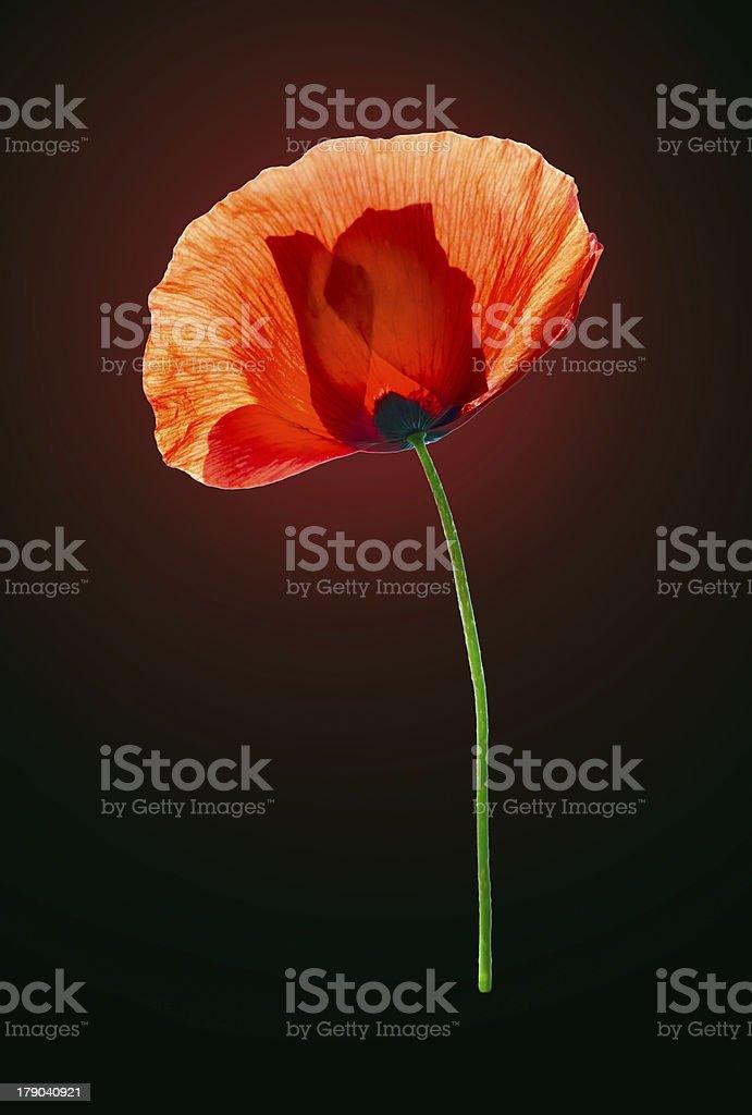 Red poppy on dark brown background stock photo