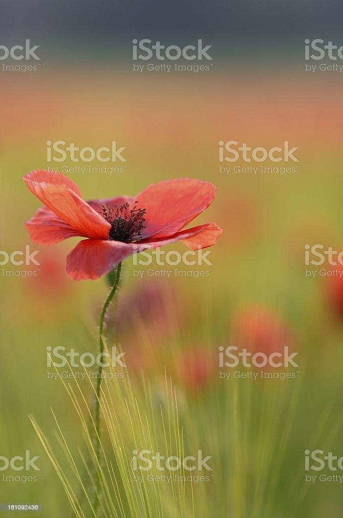 red poppy on grain field royalty-free stock photo