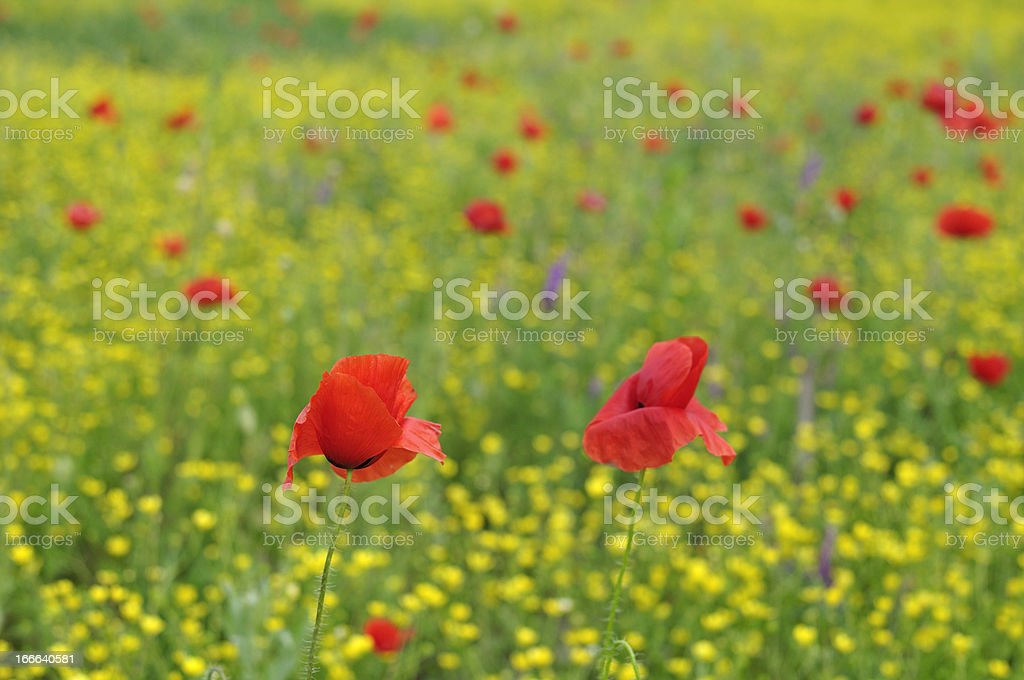 Red poppy on green natural background royalty-free stock photo