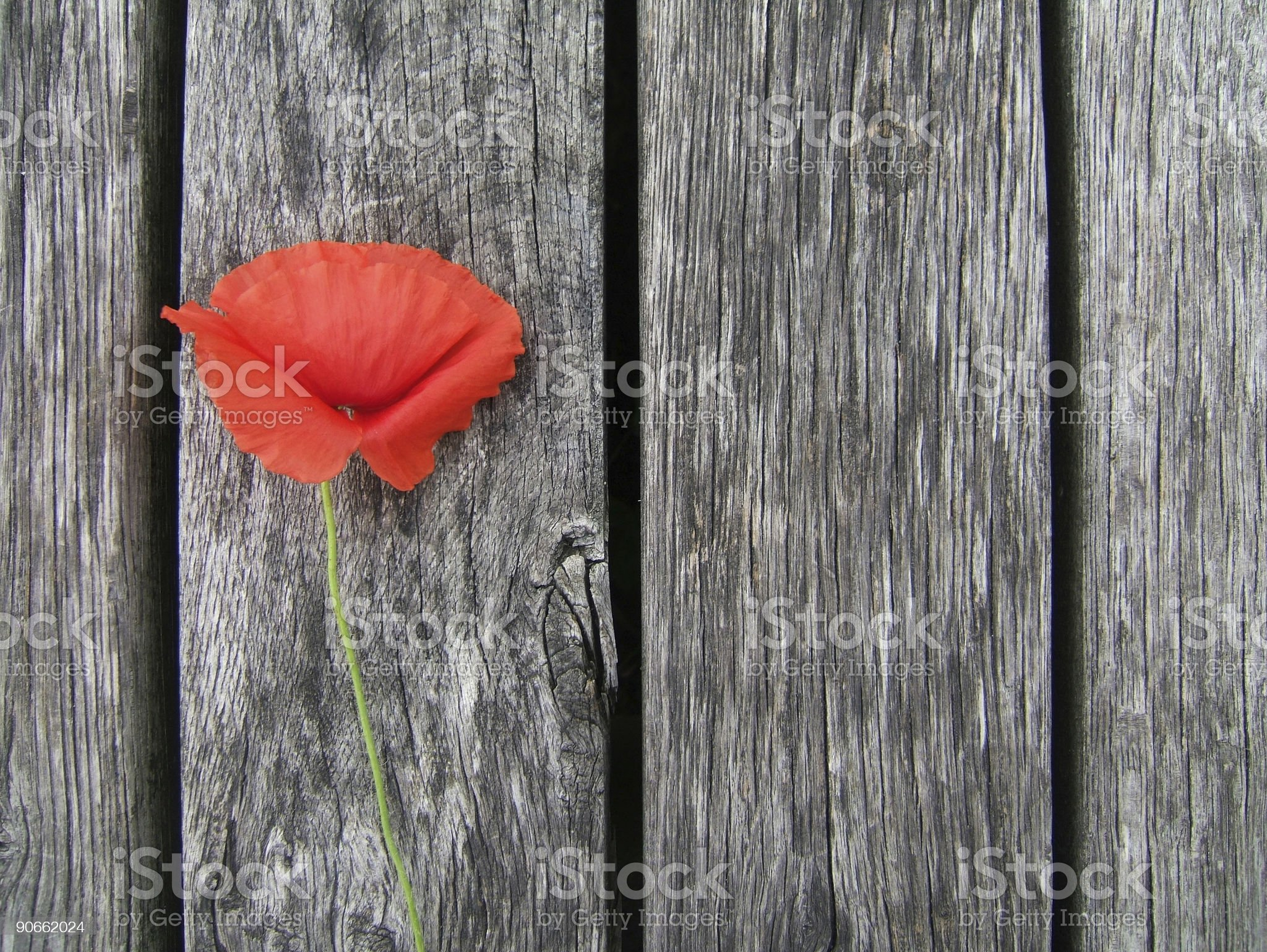 Red Poppy  on Grey royalty-free stock photo