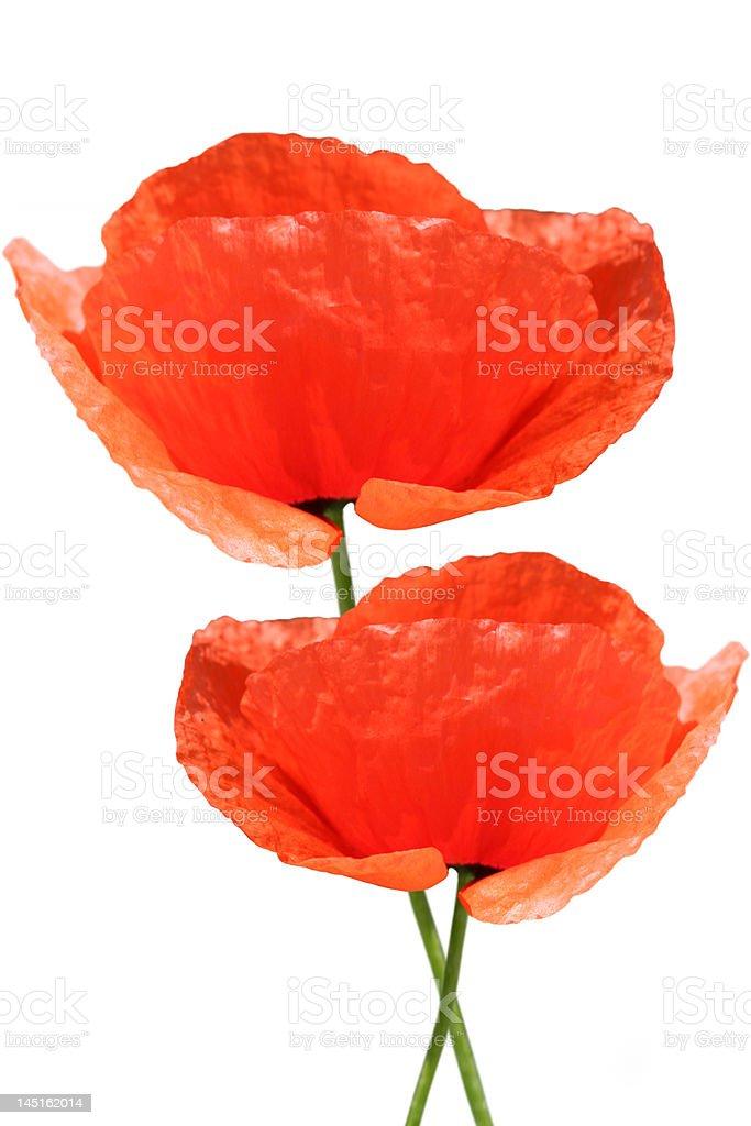 Papoila vermelha em fundo branco foto de stock royalty-free