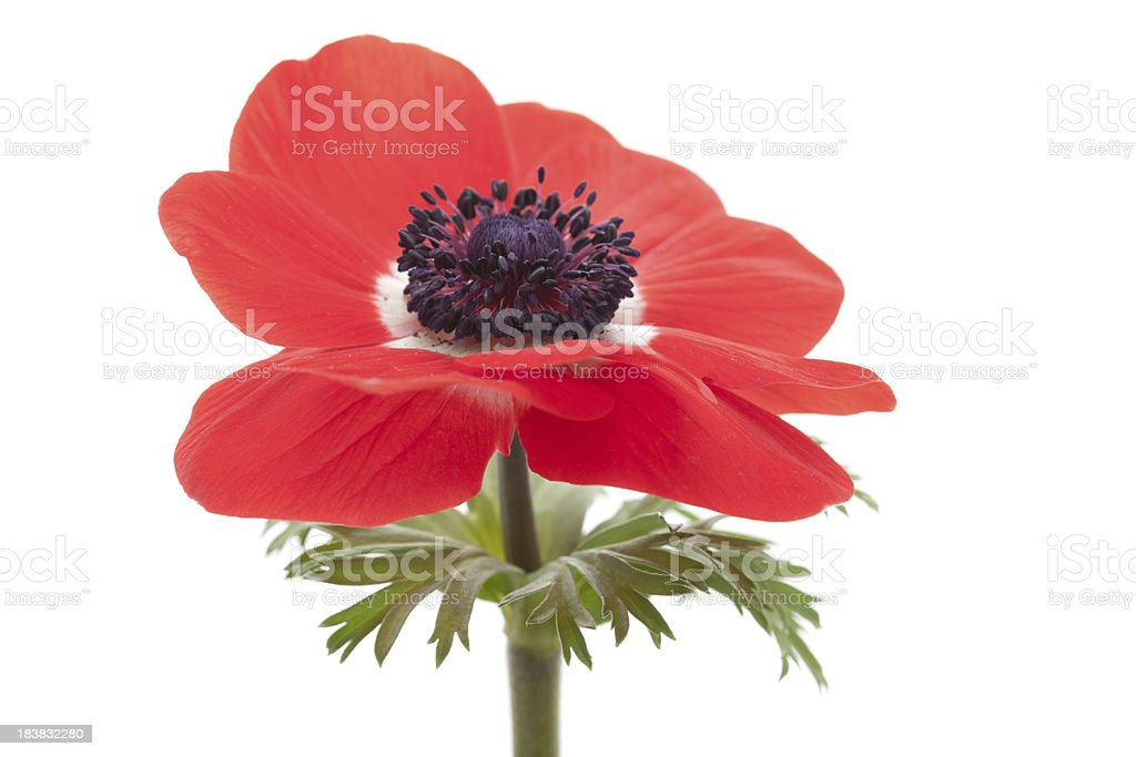 red poppy on white royalty-free stock photo