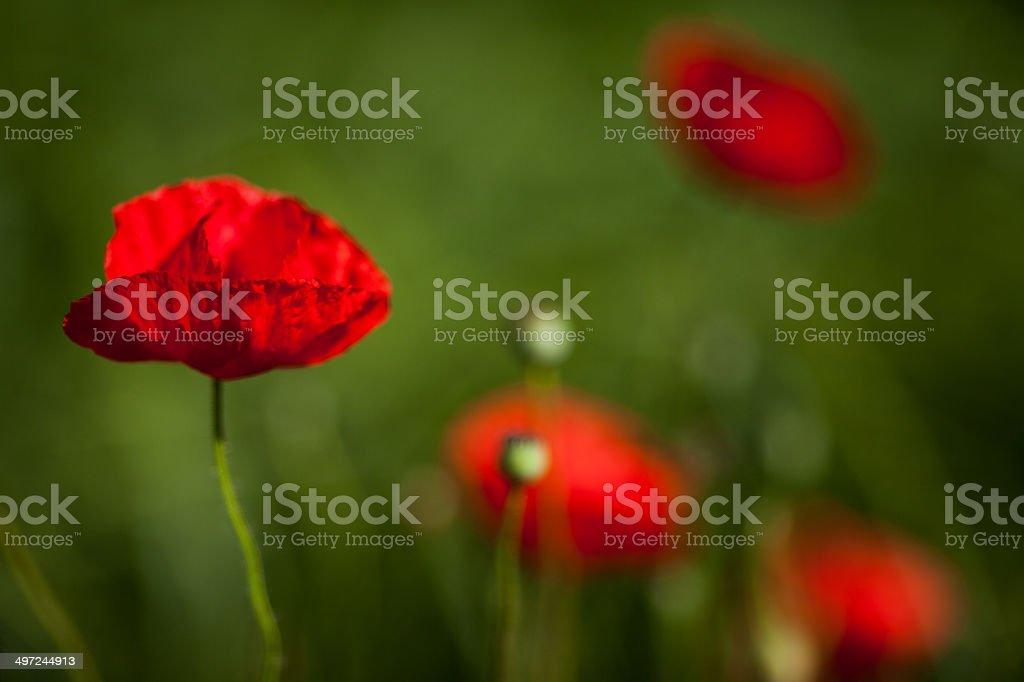 Red Poppy (Papaver rhoeas) stock photo