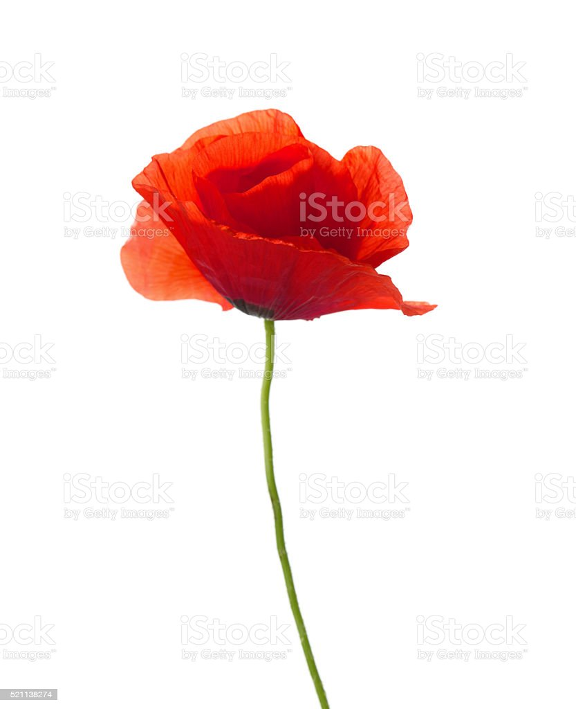 Red poppy. stock photo