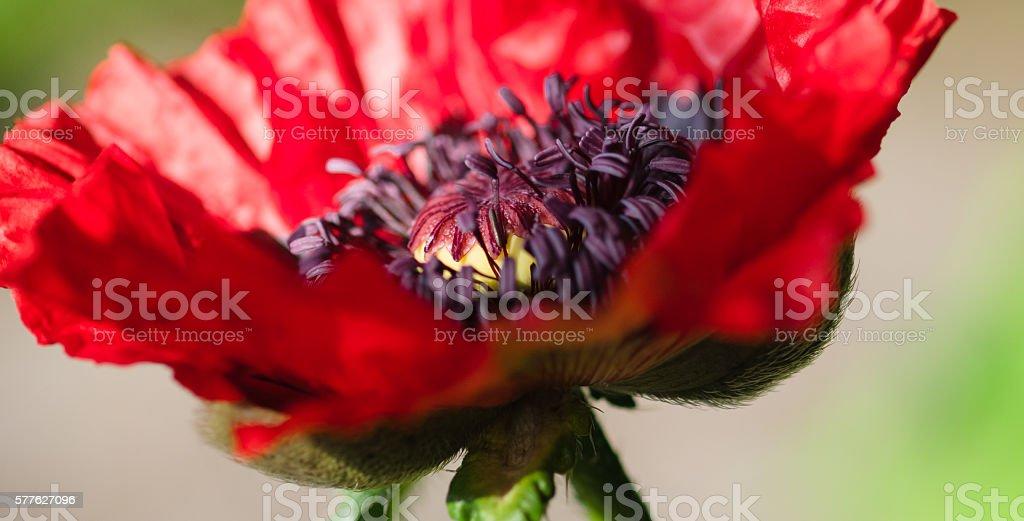 Red poppy stock photo