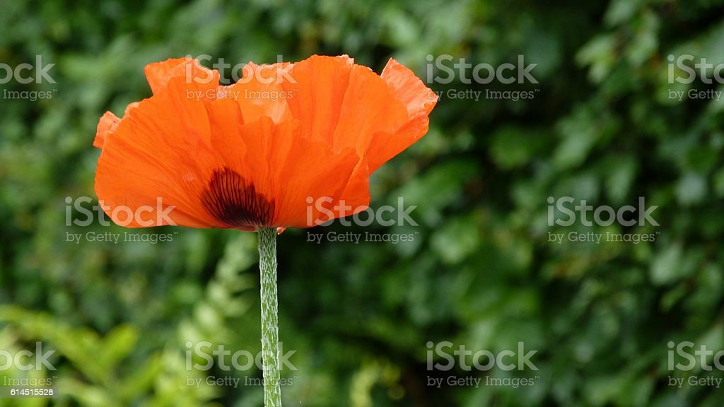 Red poppy standing erect stock photo